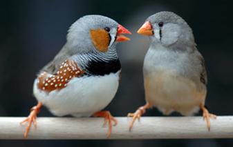 oiseaux rut